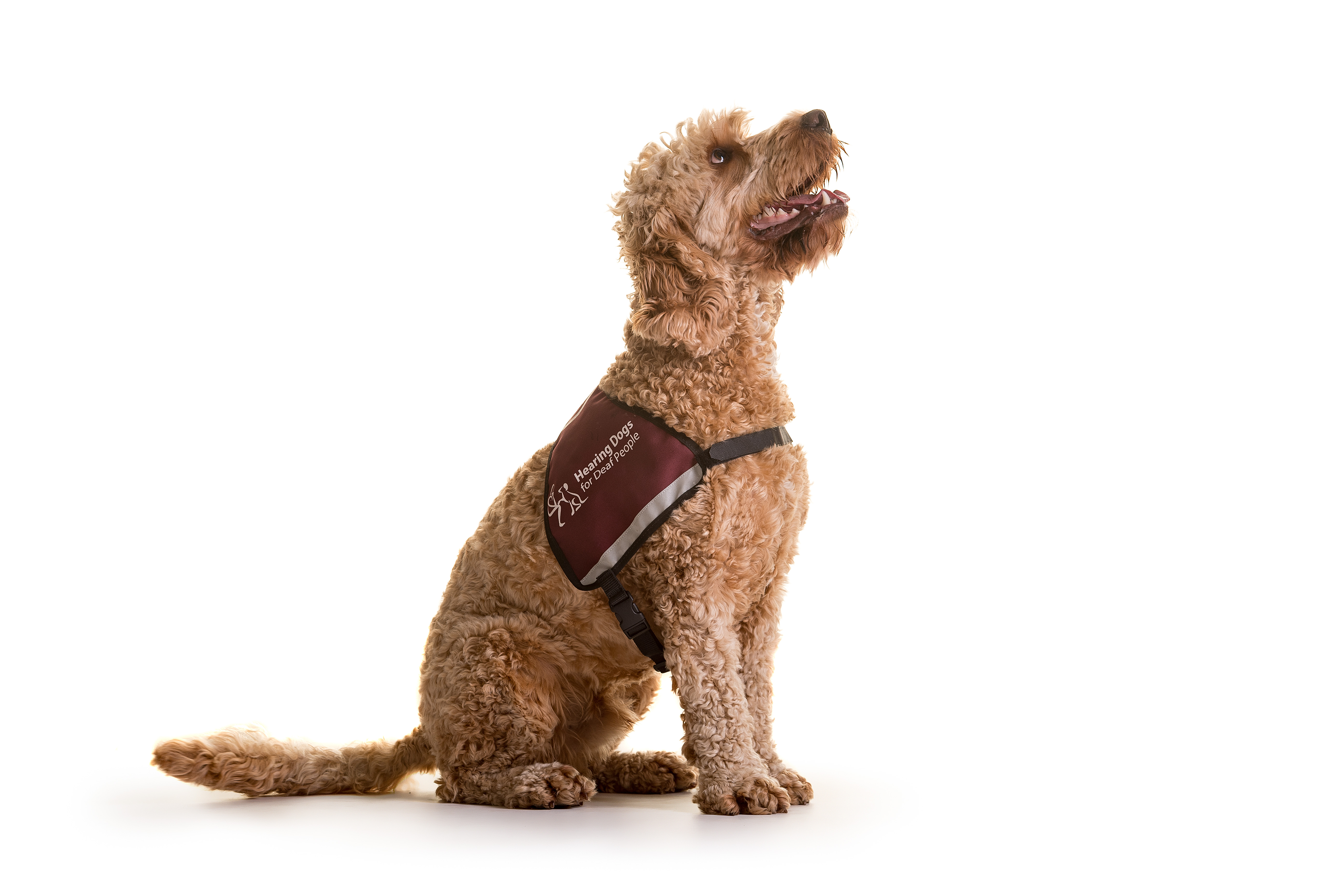 A hearing dog sitting and waiting for instruction